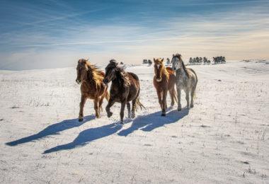 Divlji konji, Livno